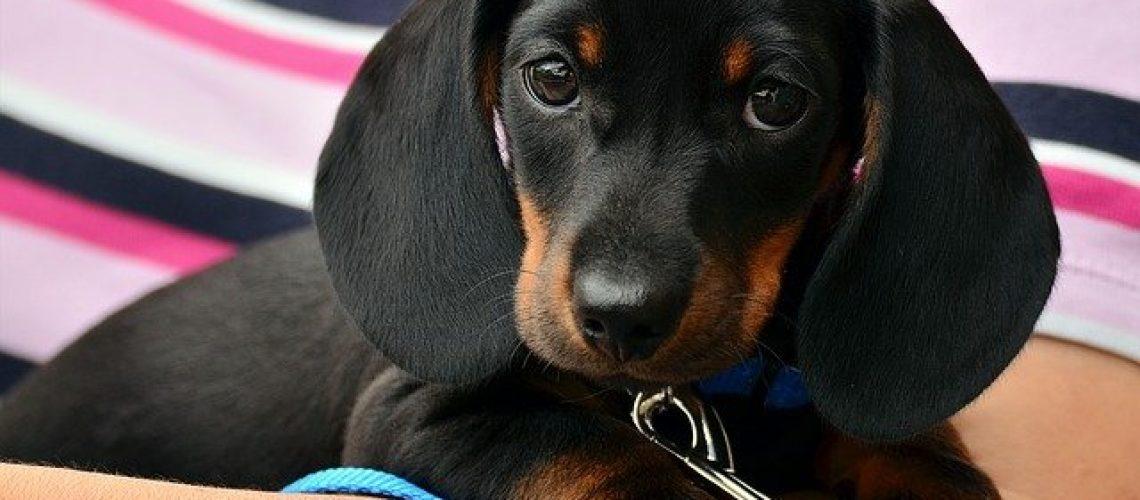 dachshund-1519374_640