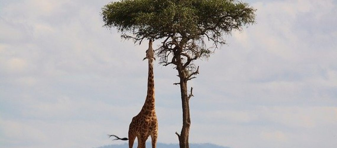 giraffe-2191662_640